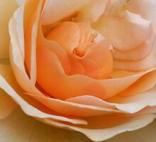 Peach Rose by Sherry Durkin