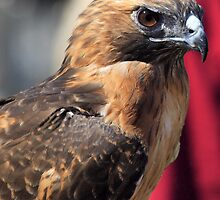 Red Tailed Hawk by Gene Praag