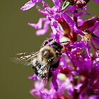 Busy bee by Anna Williams