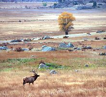 Elk in Field by John Wright