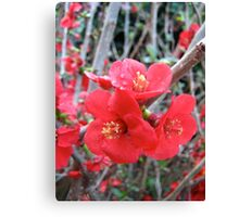 Red Japonica Canvas Print