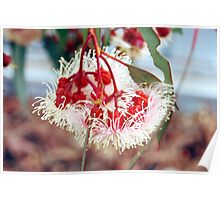 Flowering Redgum...native flower series Poster