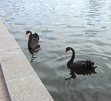 Black swans by John Witte