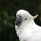 Sulphur - crested Cockatoo by David Bass
