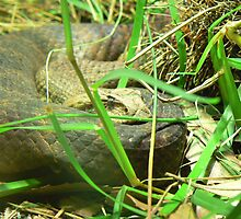 Snake in grass  by David Bass