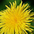 a dandelion. by dougie1