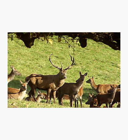 They are all mine - Red Deer. Photographic Print