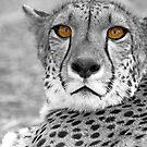 Cheetah eyes by Wild at Heart Namibia