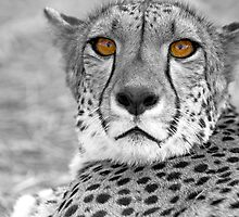 Cheetah eyes by Wild at Heart Namibia
