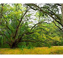 The Golden Rain Tree © Photographic Print
