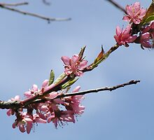Peach Blossoms by JTrask