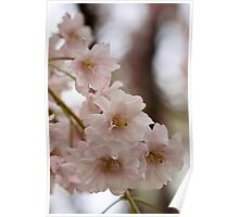 Weeping cherry tree blossoms - South Haven, MI Poster