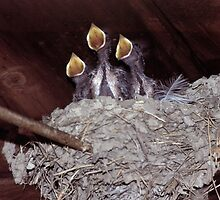 """92347-1  SCHUBERT'S """"AVE MARIA"""" BEING SUNG BY THE THREE TWEETERS by MICKSPIXPHOTOS"""