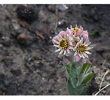 Pink flowers of Succulent cactus Photographic Print