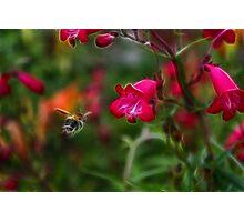 Penstemon and Bee in Flight - Fractalius Photographic Print
