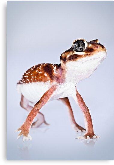 Western Smooth Knobtail Gecko [Nephrurus levis occidentalis] by Shannon Benson