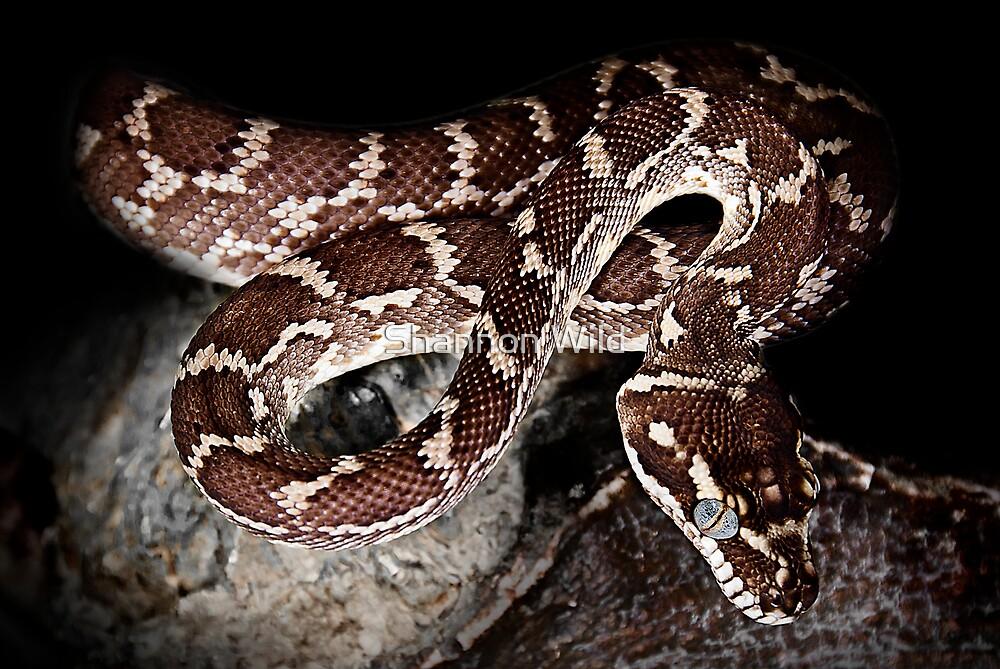 Rough Scaled Python [Morelia carinata] by Shannon Benson