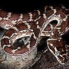 Rough Scaled Python [Morelia carinata] by Shannon Plummer