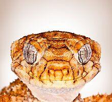 Rough Knobtail Gecko [Nephrurus amyae] by Shannon Benson