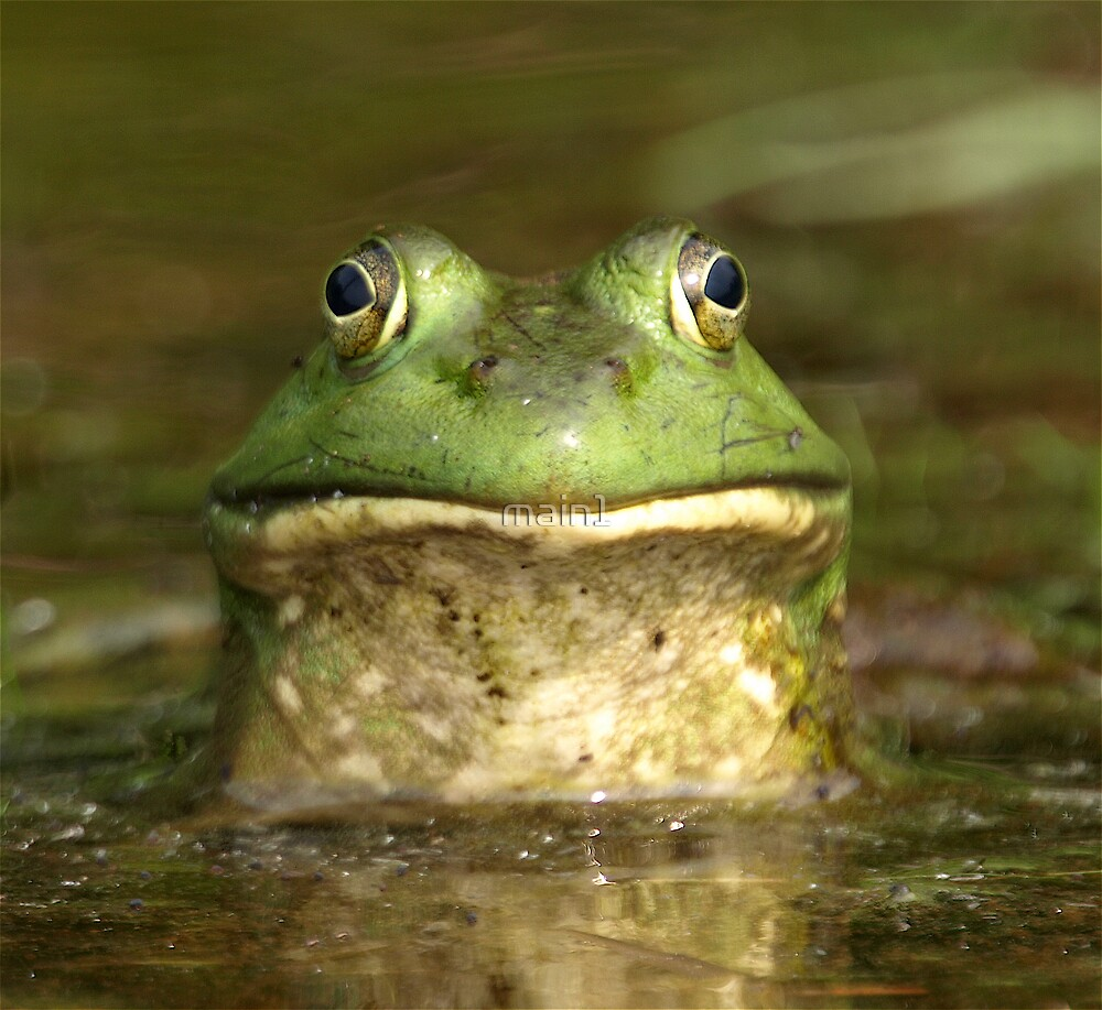 Bull Frog  by main1