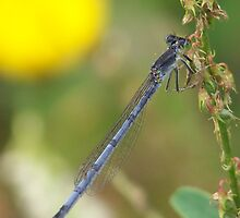 Damsel Fly by deb cole