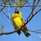 Southern Masked Weaver by Martie Venter