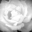 White Rose by saseoche
