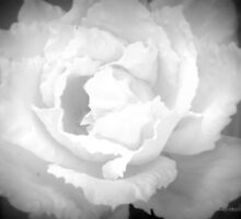 White Rose by saseoche