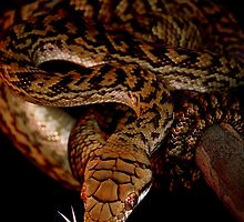 Scrub or Amethyst Python [Morelia amethystina kinghorni] by Shannon Benson