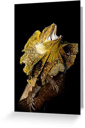 Frilled Lizard [Chlamydosaurus kingii] by Shannon Benson