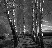 Birch Way Infrared 03 by fine