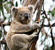 Koala by Karin Knapp