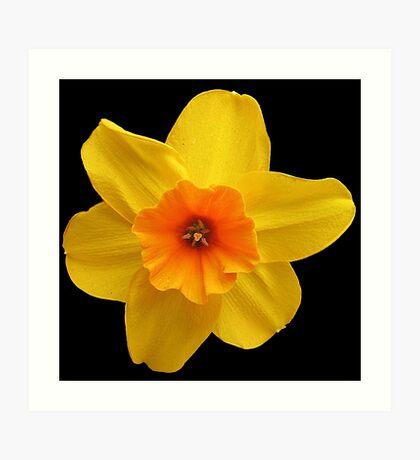 Yellow daffodil (Narcissus) Art Print