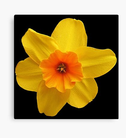 Yellow daffodil (Narcissus) Canvas Print