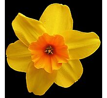 Yellow daffodil (Narcissus) Photographic Print
