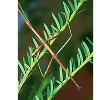 Walking Stick Bug Photographic Print