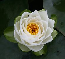 Waterlilly by Edward Gunn