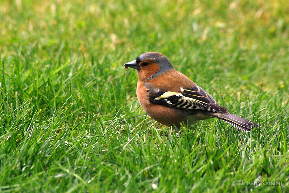 Chaffinch by Trevor Kersley