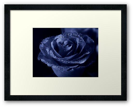 Blueberry rose by Annika Strömgren