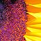 Eye of the Sunflower by Terri~Lynn Bealle