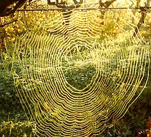 Spiderweb at sunrise in vineyard by David Lang