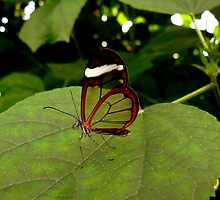 GLASSWING BUTTERFLY by Johan  Nijenhuis