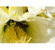 Large White Single Cactus Flower Photographic Print