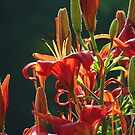 More Daylilies Remembered by Lolabud