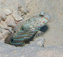Goby by Anders Hollenbo