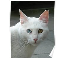 Portrait of a deaf in one ear cat... Poster