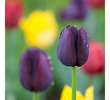 Dark-violet Tulips Flower Photographic Print