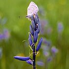 Common Camas Lily by ToddDuvall