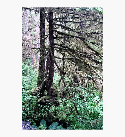 Another view of the Rainforest - Tall trees Photographic Print