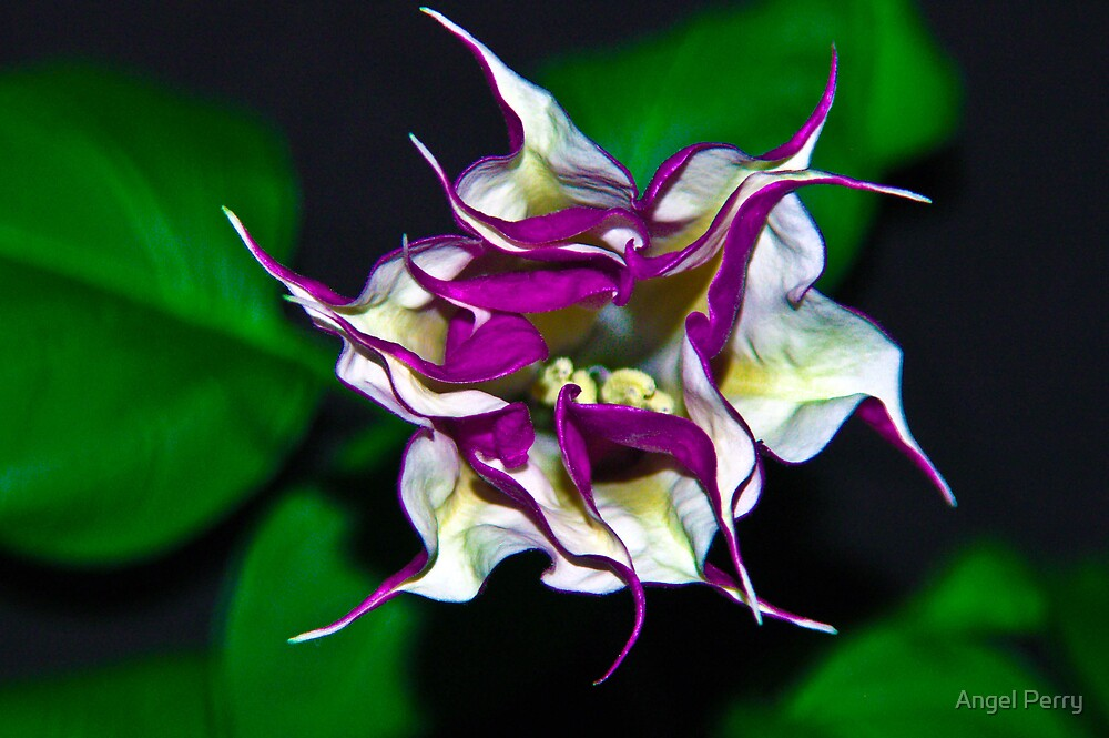Angel's Trumpet Flower by Angel Perry